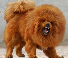 Tibetan Mastiff Lion 300x255 Tibetan Mastiff Breed Description