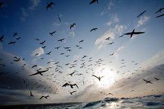 gannets over the ocean