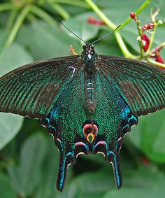 This butterfly reminds me of a peacock!
