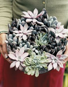 Succulent mix: Graptopetalum (a.k.a. ghost plant), waxy blue-gray Pachyphytum oviferum (a.k.a. moonstones), fuzzy brown-tipped Kalanchoe tomentosa, blue-green Echeveria - photo: Debra McClinton cultivating succulents, pachyphytum oviferum, bluegray, graptopetalum aka, succul bouquet, garden, succulent bouquets, ghost plant, succul mix