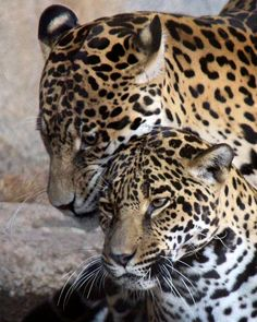 Togetherness by Penny Hyde  Jaguars Guapo & Nindiri spent some quality time together recently. Cross your fingers for cubs!
