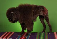 buffalo poodle