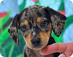 Searcy, AR - Catahoula Leopard Dog Mix. Meet Bandit, a puppy for adoption. http://www.adoptapet.com/pet/11420189-searcy-arkansas-catahoula-leopard-dog-mix