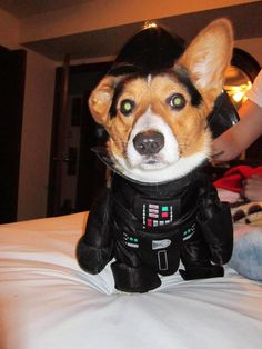 corgis can be evil too