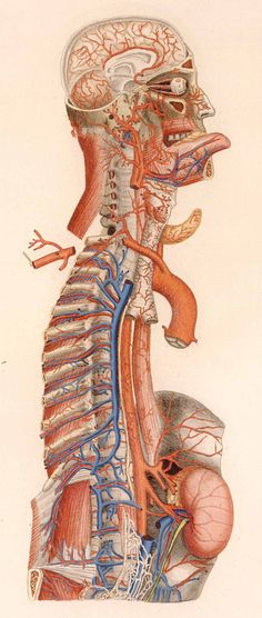 Florence, 1833. Overprinted and hand colored copperplate engraving. National Library of Medicine    Paolo Mascagni  (1755-1815)  [anatomist]    Antonio Serantoni  (1780-1837)  [artist]    Mascagni developed new methods of anatomical preservation, made important contributions to the understanding of human lymphatics, and produced a comprehensive and unprecedented series of brilliantly colored, oversized, anatomical plates.