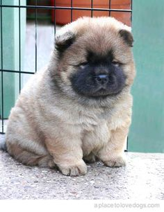Omg!!! I'm not sure what kind of dog this is but I want him!!!! Kinda looks like an Akita!!! Which is what I want!!!