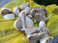 Growing Great Garlic, how to grow the best garlic ever...