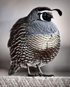 // quail