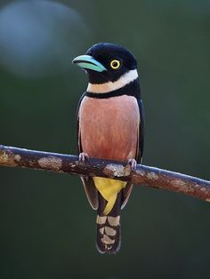 Black and Yellow Broadbill little birds, color black, blackandyellow broadbil