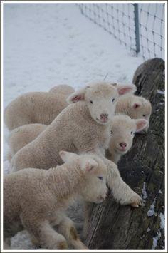 absolut ador, animals, baby lamb, farms, babi, the farm, pet supplies, friend, alex o'loughlin