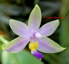 Phalaenopsis violacea fo. coerulea violacea fo, phalaenopsi violacea