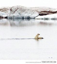 Polar bear cub riding its mother…