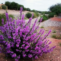 Texas Ranger Sage.  Blooms in the fall and is perfect in Xeroscapes!