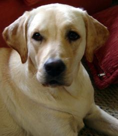 El labrador retriever es una de las razas más hermosas de perros, damos algunos consejos de cómo cuidar.
