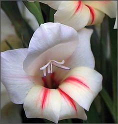 Gladiolus 'Halley'