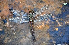 Bejeweled dragonfly