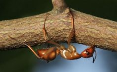 Brainless fungus uses chemical mixture to manipulate ant's brain