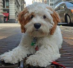 Bernie the Poodle Mix