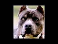 ▶ Pitbull: The Truth - Pitbulls are so loving and loyal, they will do what is asked of them. With a good guardian, they're free to be the inherently sweet, kind, smart, funny furkids they should be. In the wrong hands, they taught meaness by cruelty - so to fulfill their inherent loyalty they do what is asked of them -sometimes to the death. Educate yourself! Pitbulls are perfect furkids. People can be bad. http://www.youtube.com/watch?v=DsI_nIy9-Kk