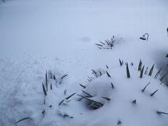 Greta Schwartz, Harrisonburg  Yucca plants. Kinda look like porcupines in the snow. #WHSVsnow yucca plant, whsvsnow contest, harrisonburg yucca, greta schwartz