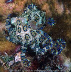 Blue-ringed octopus (Hapalochlaena), Australia.  Beautiful but poisonous.