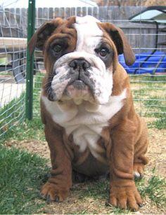English Bulldog puppy ~ I wanna play!