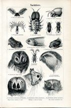 "animal heads german 1894 lithograph 6 x 9"" $25"