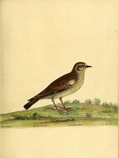 "Alondra Silvestre.     From ""A natural history of birds: Biodiversity Heritage Library, V.1"""