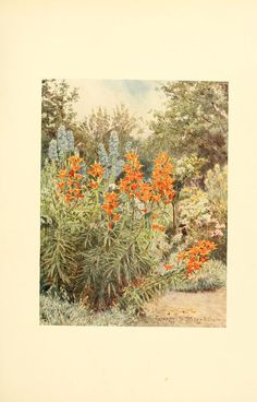 Orange Lilies and Larkspur. Some English gardens London, New York and Bombay,Longmans, Green & Co.,1904. Biodiversitylibrary. Biodivlibrary. BHL. Biodiversity Heritage Library