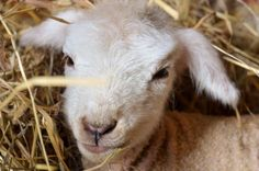 Another new lamb at Juniper Moon Farm -- and she's a twin!