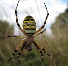 Homemade spider repellant - a few drops of (any combination of: citrus, lavander, peppermint, citronella, tea tree or clove oil) with a squirt of liquid detergent add water to spray bottle and spray away
