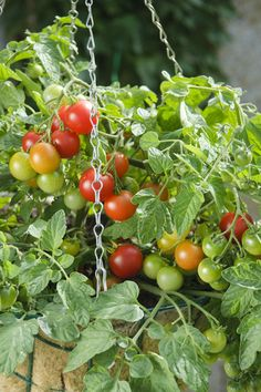 AAS 2011 Winner 'Terenzo' Hybrid Tomato provides very heavy yields of cherry tomatoes on a dwarf trailing plant in planters and hanging baskets.  Seeds at parkseed.com