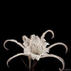 spider lili