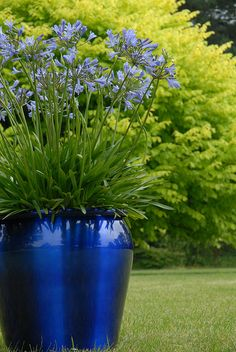 Love this Agapanthus in a cobalt blue planter!