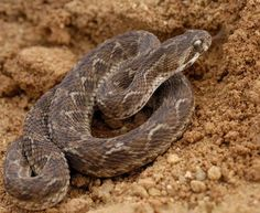 The Carpet Viper causes most of the snakebite deaths worldwide. Its poison can keep the victim's blood from coagulating, and the person can bleed to death.