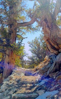 Explore : Ancient Bristlecone Pine Forest  ,