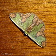 Geometridae moth (possibly Racheospila ecuadoriata) by LPJC, via Flickr