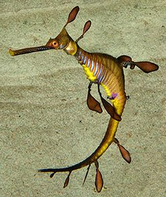 The weedy sea dragon lives along the southern coast of Australia and around Tasmania. They can grow as long as 45 cm (17.5 inches). They have projections that resemble seaweed, which acts as camouflage. This helps them hide in seaweed beds, between the depths of 3 meters and 50 meters (10 feet and 164 feet).