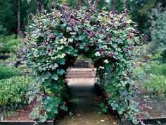 Ivy Clad: Growing Now: Hyacinth Bean Vine....will cover ugly structures (like a chain link fence) and the flowers attract butterflies. Perfect for the fence around the children's garden
