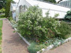 Sophora davidii, summer 2011, from Broken Arrow Nursery.