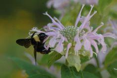 habitat garden, butterfli habitat, garden flower