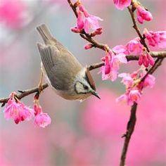 cherri, spring flowers, pink flowers, season, spring photography, little birds, branch, animal, cherry blossoms