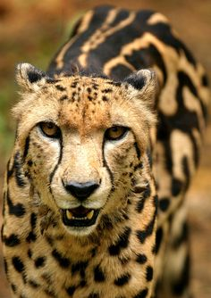 """Rare """"king"""" cheetah markings.  Indistinct spots and 3 streaks on its spine."""