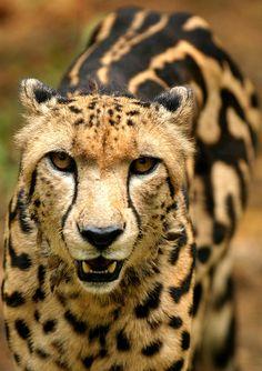 o, cheetah