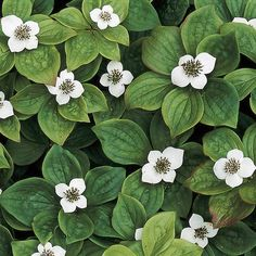 "Bunchberry--full shade; 6"" tall, white flowers spring & red berries fall; full shade"
