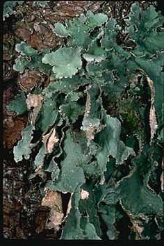 """Pseudocyphellaria rainierensis, the """"oldgrowth specklebelly"""", on a Douglas-fir trunk, southwestern Washington. This lichen is found only in the few patches of remaining old-growth forest in the Pacific Northwest.  Photograph copyright Stephen/Sylvia Sharnoff"""
