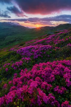 Sunset on Hills of Flowers