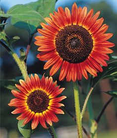 Cappuccino Hybrid Sunflower  Love it