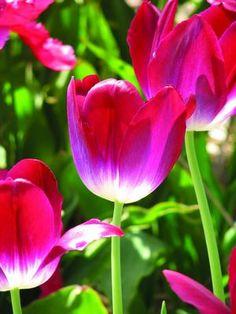 Tulipa Pittsburg