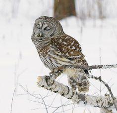 sleepi owl, bird, owl totem, anim, strigiform owl, drinking, bar owl, owls, hungov owl